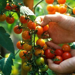 Hands Picking Cherry Tomatoes, Close-up of Fruits on Plant by Michele Lamontagne