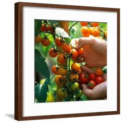 Hands Picking Cherry Tomatoes, Close-up of Fruits on Plant