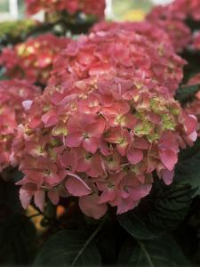 """Hydrangea """"Freudenstein"""" in Flower by Michele Lamontagne"""