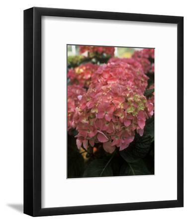 """Hydrangea """"Freudenstein"""" in Flower"""