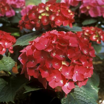 "Hydrangea Macrophylla ""Firelight"" (Syn H. ""Leuchtfeuer"") by Michele Lamontagne"