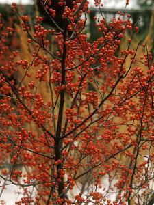 "Ilex Verticillata ""Winter Red"" by Michele Lamontagne"