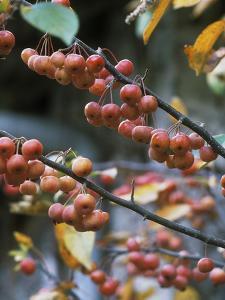 "Malus ""Evereste"" (Autumn Fruit) by Michele Lamontagne"