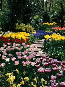 Mixed Spring Bulbs Tulipa,Narcissus,Muscari Narcissus Path Tulipa by Michele Lamontagne