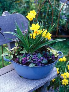"""Narcissus """"Spitfire"""" and Primula Planted into Blue Tub Sitting on Wooden Bench by Michele Lamontagne"""