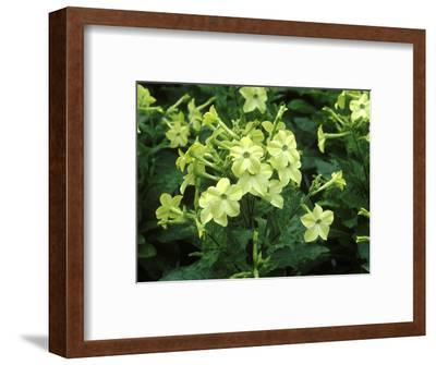 """Nicotiana Alata """"Lime Green"""" in Flower"""