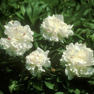 "Paeonia ""Festiva Maxima"" (Paeony) Close-up of Double Flowers by Michele Lamontagne"