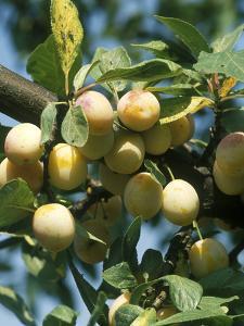 """Plum """"Mirabelle De Nancy"""" Golden Fruit on Tree by Michele Lamontagne"""
