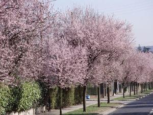 """Prunus Cerasifera """"Pissardii"""" Lining a Road with Blossom in Spring by Michele Lamontagne"""