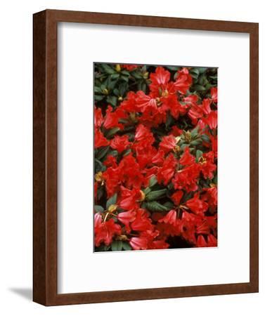 "Rhododendron Hybrid ""Scarlett Wonder,"" Close-up of Flowers, Spring"