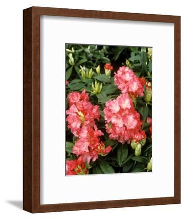 "Rhododendron Yakushimanum ""Sonatine"" in Flower"