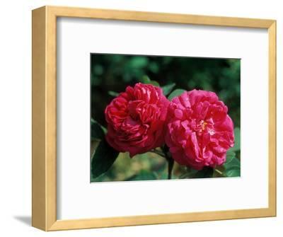 """Rosa """"De Rescht,"""" Close-up of Red Flower Heads"""