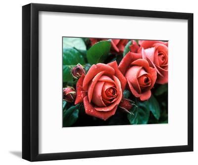 """Rosa """"Meicobuis"""" (Rosa """"Terracotta"""")"""
