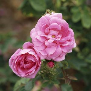 "Rosa X Centifolia ""Muscosa"" (Syn R. Old Pink Moss) by Michele Lamontagne"