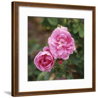 "Rosa X Centifolia ""Muscosa"" (Syn R. Old Pink Moss)"