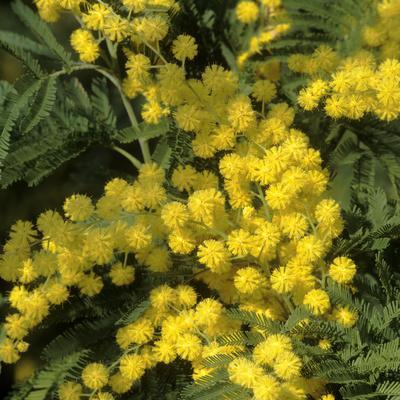 Silver Wattle in Flower