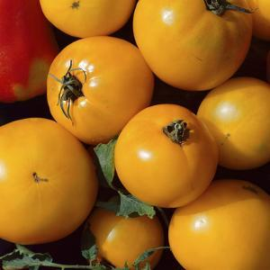 Yellow Tomatoes, Harvested by Michele Lamontagne