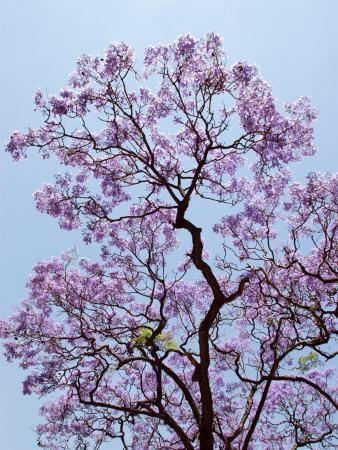 Jacaranda Trees Blooming in City Park, Buenos Aires, Argentina