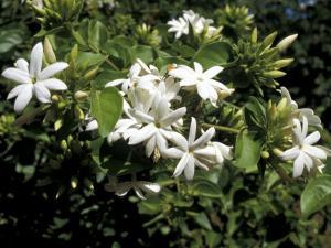 Jasmine Flowers in Bloom, Madagascar by Michele Molinari