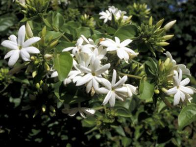 Jasmine Flowers in Bloom, Madagascar