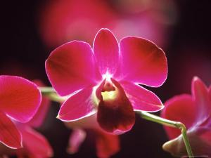 Orchid, Malaysia by Michele Molinari