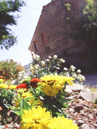 Zinnia Yellow and Red Flowers near Old Country House, Tuscany, Italy