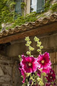 Hollyhocks flowers blooming in Provence region of Southern France. by Michele Niles
