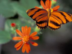 Acraea at Butterfly World, Florida, USA by Michele Westmorland