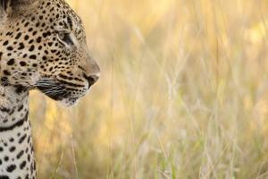 African Leopard by Michele Westmorland