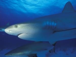 Caribbean Reef Shark, Bahamas by Michele Westmorland