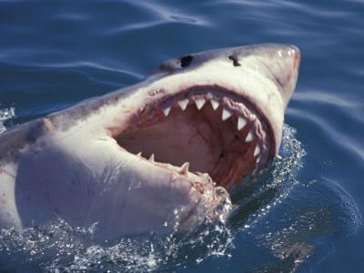 Dangerous Mouth of the Great White Shark, South Africa by Michele Westmorland