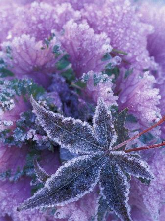 Frost-covered Shrubs and Maple Leaf, Washington, USA