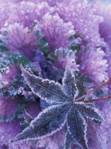 Frost-covered Shrubs and Maple Leaf, Washington, USA by Michele Westmorland