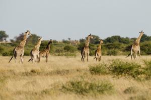 Giraffe Herd, Botswana. by Michele Westmorland