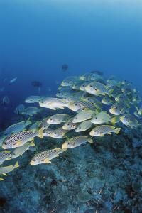 Group of Fish Swimming in Sea by Michele Westmorland