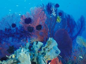 Healthy Reef System, Kimbo Bay, West New Britain, Papua New Guinea by Michele Westmorland