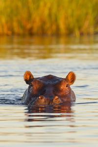 Hippopotamus in Water by Michele Westmorland