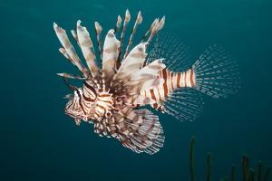 Lionfish by Michele Westmorland