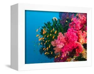 Multicolor Soft Corals, Coral Reef, Bligh Water Area, Viti Levu, Fiji Islands, South Pacific by Michele Westmorland