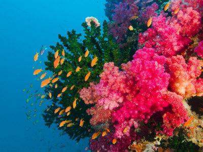 Multicolor Soft Corals, Coral Reef, Bligh Water Area, Viti Levu, Fiji Islands, South Pacific