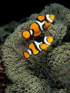 Percula Anemonefish, Papua New Guinea by Michele Westmorland
