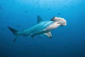 Scalloped Hammerhead Shark, Galapagos Islands. by Michele Westmorland