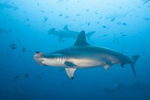 Scalloped Hammerhead Shark by Michele Westmorland