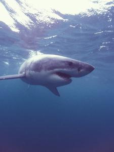 South Africa Great White Shark by Michele Westmorland