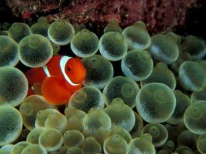 Spinecheek Anemonefish, Papua New Guinea by Michele Westmorland