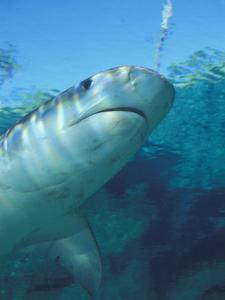 Tiger Shark, Atlantis Resort, Bahamas, Caribbean by Michele Westmorland