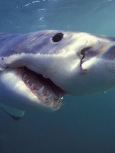 Underwater View of a Great White Shark, South Africa by Michele Westmorland