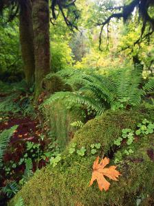 View of Hoh Rainforest, Olympic Peninsula, Olympic National Park, Washington State, USA by Michele Westmorland