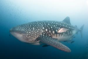 Whale Shark by Michele Westmorland
