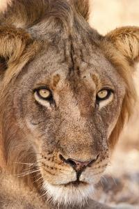 Young Male Lion (Panthera Leo) by Michele Westmorland